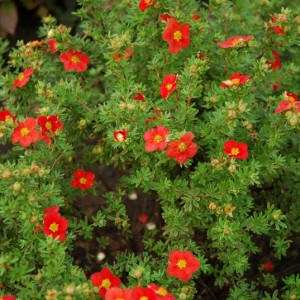 Potentilla-fruticosa-Red-Ace